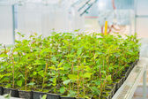 Plum tree seedlings in greenhouse — ストック写真