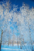 Snowed birch-trees — Stock Photo