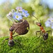 Ant gives flowers with sweets, juicy aphids, ants tales — Stock Photo #13412305