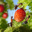 Stock Photo: Team of ants gathering strawberry, agriculture teamwork