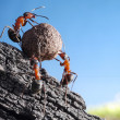 Foto Stock: Team of ants rolls stone uphill