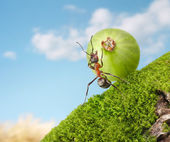 Ant Sisyphus rolls gooseberry upgrade — Stock Photo