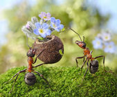 Ant gives flowers with sweets, juicy aphids, ants tales — Stock Photo