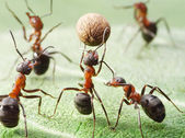 Ants playing with ball of pepper seed — Stock Photo