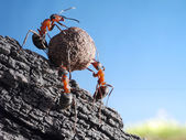 Team of ants rolls stone uphill — Stock Photo