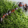 Stock Photo: Ants submit to elders dominants
