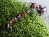 Ants submit to elders dominants — Stock Photo