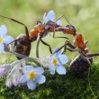 Ants kissing in flowers (actually feeding) — Stock Photo