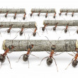 Ants work with logs, teamwork concept — Stock Photo