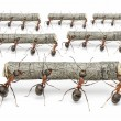 Ants work with logs, teamwork concept — Stock Photo #24903341