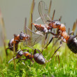 Ants eat fly - Stock Photo