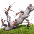 Ants bring down old tree, teamwork isolated on white — Stock Photo