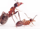 Each new born ant has 2-3 nurses and mentors — Stock Photo