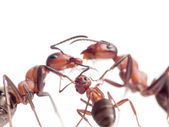 Peace and love in ants family — Stock Photo