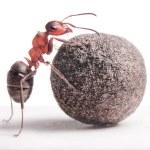 Ant rolls heavy stone — Stock Photo #27246081