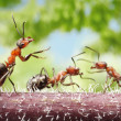 Peacemaker, ant tales — Stock Photo
