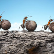 Team of ants rolling stones on rock, teamwork — Stock Photo