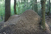Anthill of red forest ants formica rufa — Stock Photo