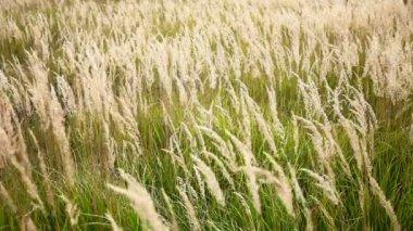 Prairie grass swaying — Stock Video