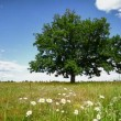 Oak tree on a meadow - Stock Photo