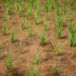 growing rice — Stock Photo