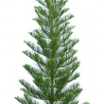 Norfolk pine tree isolated on white — Stock Photo #17413127