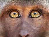 Monkey yellow eyes close up - Macaca fascicularis — Stock Photo