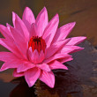 Nymphaea Red Flare - Lotus flower on a pond — Stock Photo