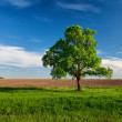 Stock Photo: Lonely tree on near arable land