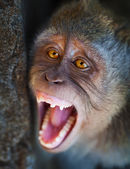 Portrait of aggressive monkey close up — ストック写真