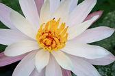 Blooming white lotus — Stock Photo