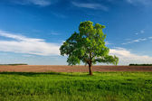 Lonely tree on near the arable land — Stock Photo