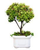 Bonsai tree — Foto Stock