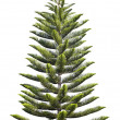 Norfolk Island Pine — Stock Photo