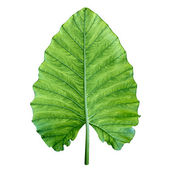 One big green tropical leaf. Isolated over white. — Stock Photo