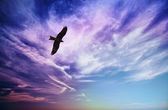 Bird of prey fly in blue cloudy sky — Stock Photo