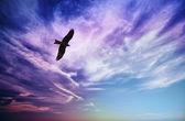 Bird of prey fly in blue cloudy sky — Stock Photo