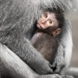 Cub cynomolgus macaques with his mother — Stock Photo