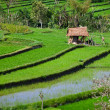 Terraced rice fields with old hut. Bali, Indonesia. — Stock Photo