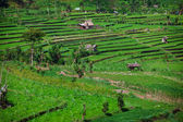 Terraced rice fields. Bali, Indonesia. — Stock Photo
