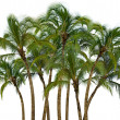Group of palm trees on white background — Stock Photo #24907959