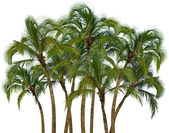 Group of palm trees on white background — Stock Photo