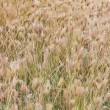 Stock Video: Dry prairie grass with seeds swaying in wind