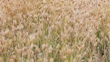 Dry prairie grass with seeds swaying in the wind — Stock Video