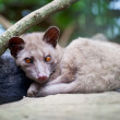Stock Photo: AsiPalm Civet - luwak
