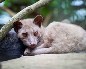 Asian Palm Civet - luwak — Stock Photo