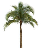 Palm tree on white background — Stock Photo