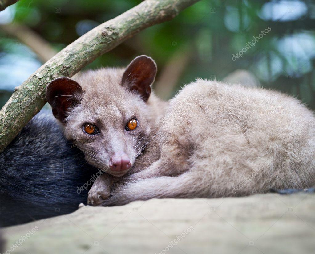 亚洲棕榈果子狸-动物用于生产的昂贵咖啡麝香猫咖啡