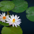 Beautiful white lilies flowers on a pond — Stock Photo