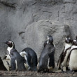 Stock Photo: Group of penguins on the rocks background
